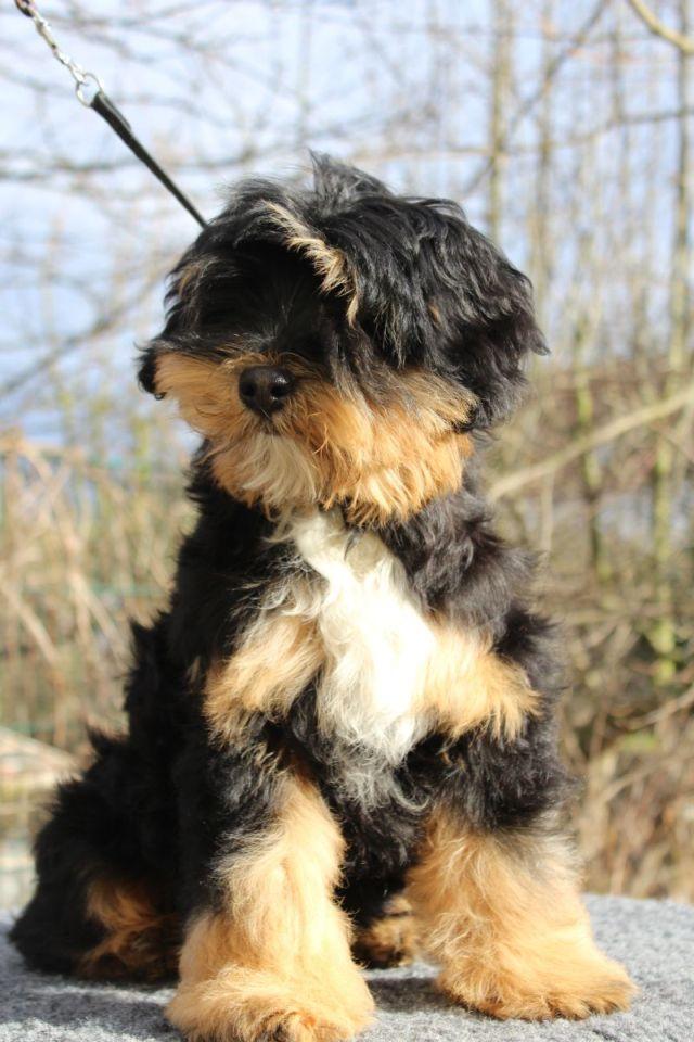 Tibet Terrier Servos